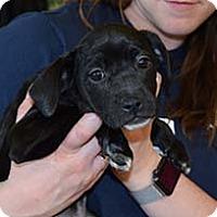 Adopt A Pet :: Pearl's Peanut - Chantilly, VA