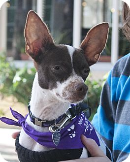 Chihuahua/Terrier (Unknown Type, Small) Mix Dog for adoption in North Palm Beach, Florida - Frank