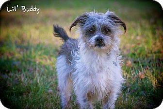 Shih Tzu/Yorkie, Yorkshire Terrier Mix Dog for adoption in Albany, New York - Buddy