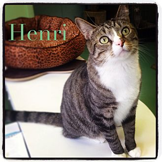 Domestic Shorthair Cat for adoption in New York, New York - Henri