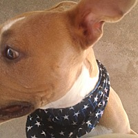 American Staffordshire Terrier Mix Dog for adoption in San Diego, California - Cupcake