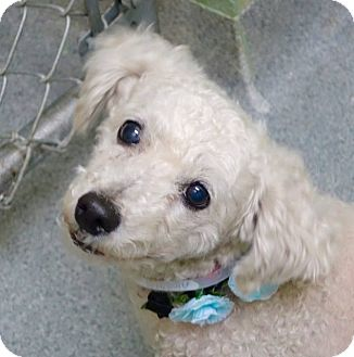Poodle (Miniature) Mix Dog for adoption in Long Beach, New York - Leidy
