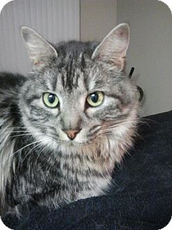 Maine Coon Cat for adoption in Absecon, New Jersey - Carmen Courtesy Post
