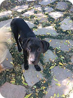 Labrador Retriever Mix Dog for adoption in Evergreen, Colorado - Toronto