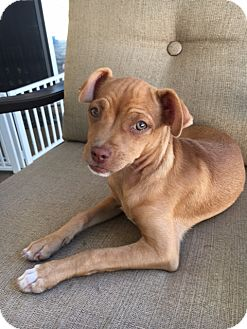 Chihuahua Mix Puppy for adoption in San Diego, California - Skye