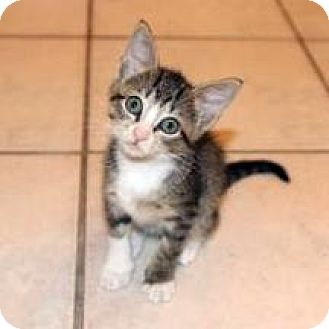 Domestic Shorthair Kitten for adoption in Austin, Texas - Scooter