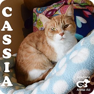 Domestic Shorthair Cat for adoption in Carencro, Louisiana - Cassia