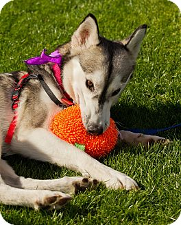 Siberian Husky Dog for adoption in Scottsdale, Arizona - Stacie