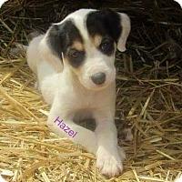 Adopt A Pet :: Hazel - greenville, SC
