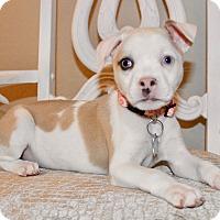 Adopt A Pet :: zizi - San Antonio, TX
