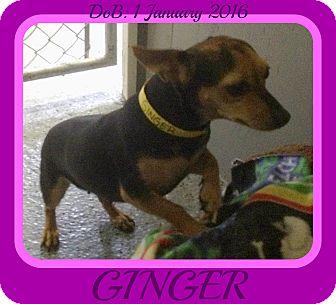 Chihuahua Mix Dog for adoption in Halifax, Nova Scotia - GINGER