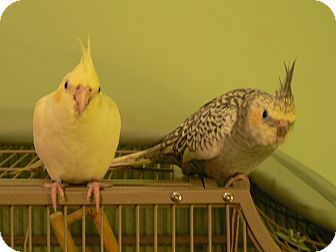 Cockatiel for adoption in Little Falls, New Jersey - Big Boy and Sunshine