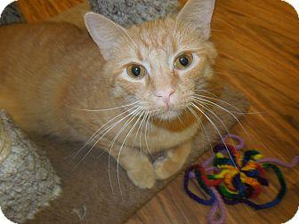 Domestic Shorthair Cat for adoption in Medina, Ohio - Arnie