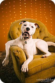 American Pit Bull Terrier/English Bulldog Mix Dog for adoption in Portland, Oregon - Lewis