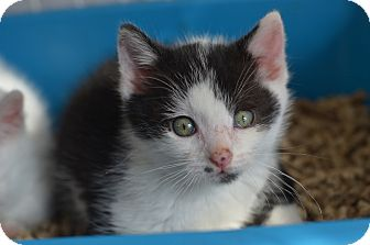 American Shorthair Kitten for adoption in Brooklyn, New York - Mighty Moo