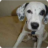 Adopt A Pet :: Spanky - Mesa, AZ