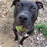 Pit Bull Terrier/Labrador Retriever Mix Dog for adoption in Santa Monica, California - Dirky