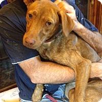 Vizsla/Labrador Retriever Mix Dog for adoption in Millbrook, New York - Penny - Sweet and Friendly!!