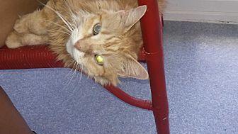 Domestic Longhair Cat for adoption in El Cajon, California - Hermione