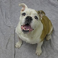 English Bulldog Mix Dog for adoption in Santa Ana, California - Bubba Sr.