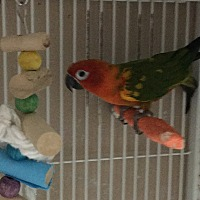 Conure for adoption in Punta Gorda, Florida - Mooch