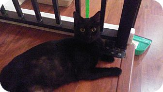 Domestic Shorthair Cat for adoption in Hollywood, Florida - caleb