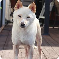 Adopt A Pet :: Shiro - Manassas, VA