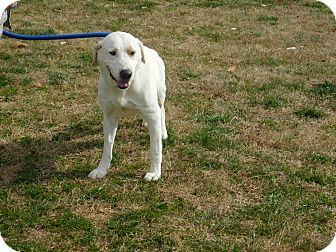 Labrador Retriever Mix Dog for adoption in Deer Park, New York - Winston