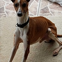 Italian Greyhound Mix Dog for adoption in Argyle, Texas - Gino in Austin area
