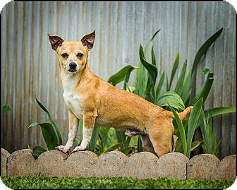 Chihuahua Dog for adoption in Owensboro, Kentucky - Romeo