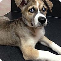 Adopt A Pet :: Violet - ADOPTION PENDING - Somers, CT