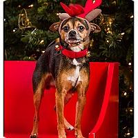 Adopt A Pet :: Wiggles - Owensboro, KY