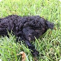 Adopt A Pet :: Lelue - Fairview Heights, IL