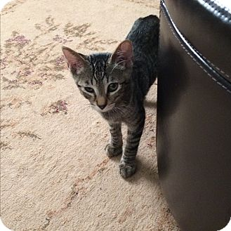 Domestic Shorthair Kitten for adoption in San Ramon, California - Sweetie