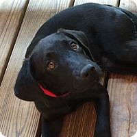 Adopt A Pet :: Lily - Groton, MA