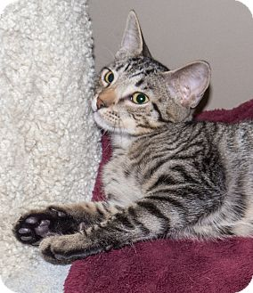 Domestic Shorthair Kitten for adoption in Elmwood Park, New Jersey - Oscar