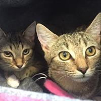 Domestic Shorthair Cat for adoption in Burlington, North Carolina - ROSE