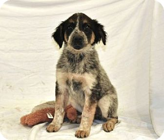 Australian Cattle Dog Mix Puppy for adoption in Chalfont, Pennsylvania - Apple