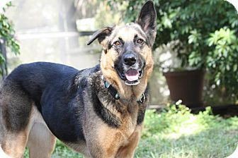 German Shepherd Dog Dog for adoption in Pinellas Park, Florida - Betty