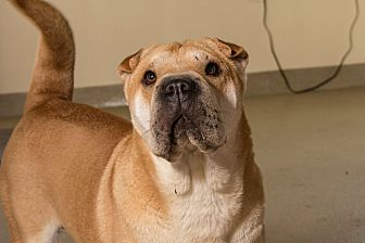 Shar Pei Dog for adoption in Myakka City, Florida - Thelma