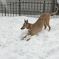 Adopt A Pet :: AMF Lost In Love - Carol Stream, IL