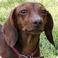 Adopt A Pet :: Terra Tesla - Houston, TX
