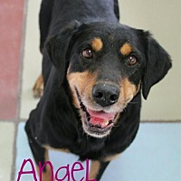 Adopt A Pet :: Angel - courtesy listing - Evergreen, CO