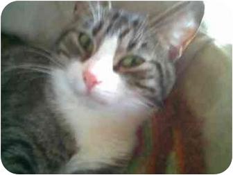 Domestic Shorthair Cat for adoption in Proctor, Minnesota - Jewel