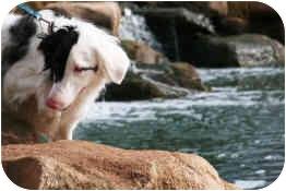 Australian Shepherd/Border Collie Mix Dog for adoption in Mesa, Arizona - Draco