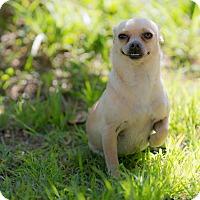 Chihuahua Mix Dog for adoption in Pasadena, California - Dora