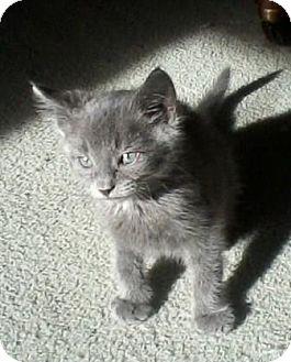 Domestic Shorthair Kitten for adoption in Kirkwood, Delaware - Blue Boy