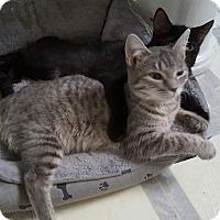Adopt A Pet :: Whisper - Holden, MO