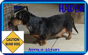 Dachshund Dog for adoption in White River Junction, Vermont - HADEN