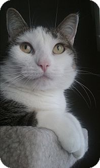 Domestic Shorthair Cat for adoption in Frankfort, Illinois - Jenny
